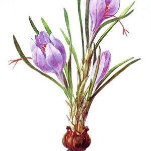 Nguồn gốc của nhụy hoa nghệ tây (Saffron)