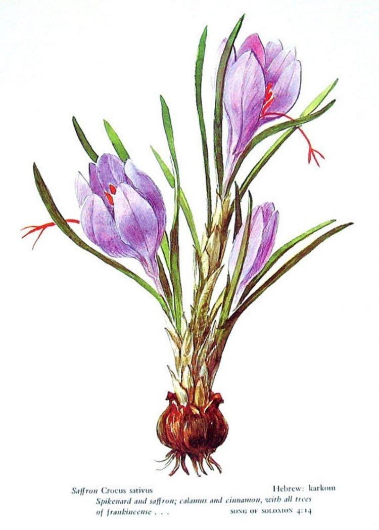 Nguồn gốc của nhụy hoa nghệ tây Saffron