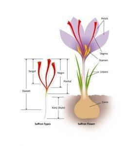 saffron 263x300 - Phân Biệt Các Loại Saffron Theo Chiều Dài Sợi Nhụy
